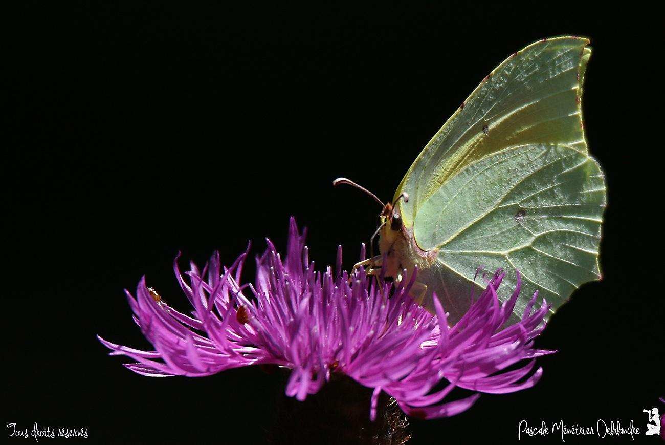 Le Citron de Provence ♂ (Gonepteryx cleopatra) - Pieridae