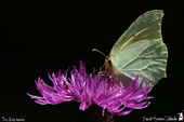 Le Citron de Provence (Gonepteryx cleopatra) - Pieridae