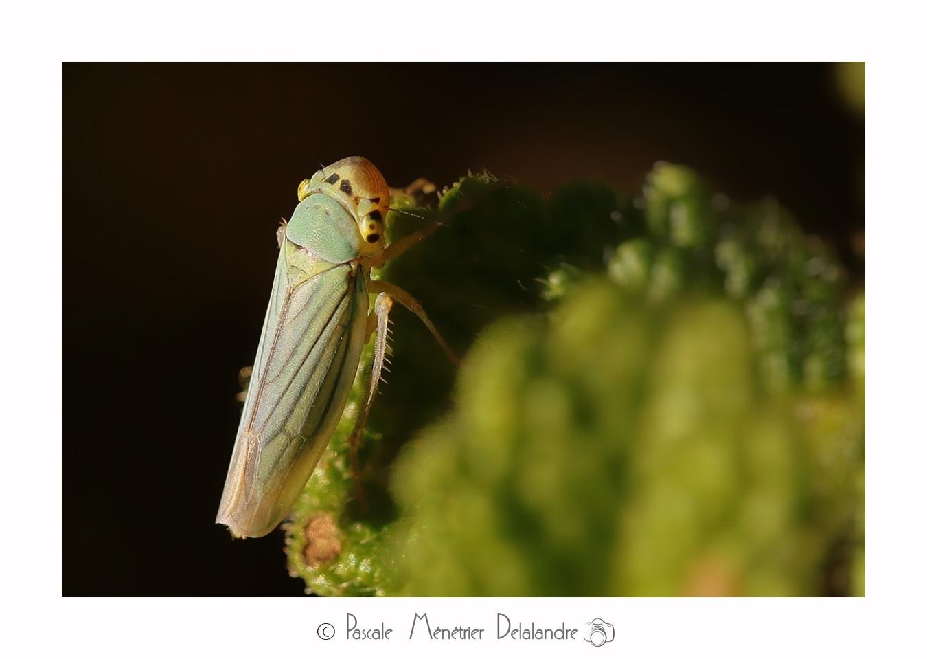 Cicadelle verte (Empoasca vitis)