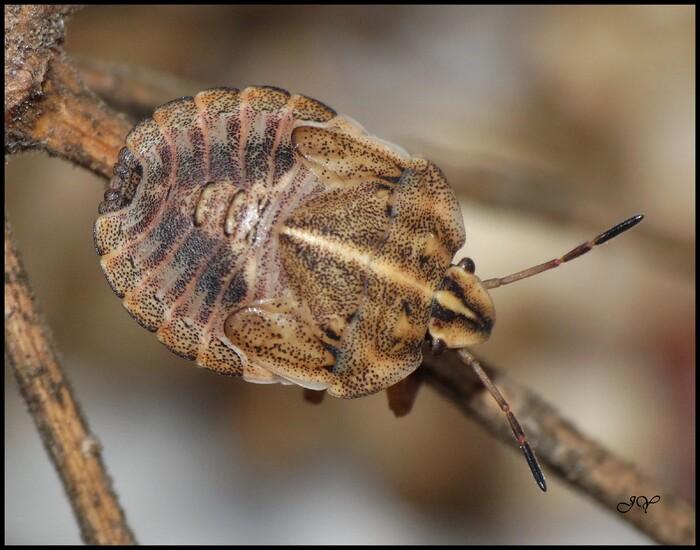 Graphosoma italicum.