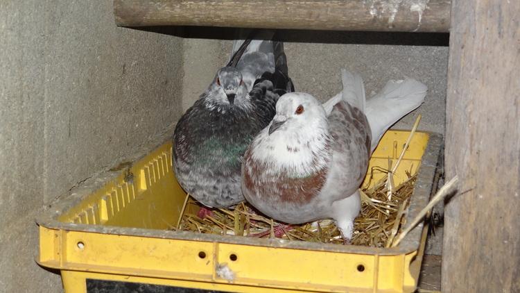 Cot Cot ... Coq et pigeons