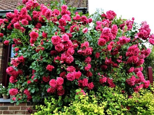 Un rosier coup de coeur: Rosarium Uetersen