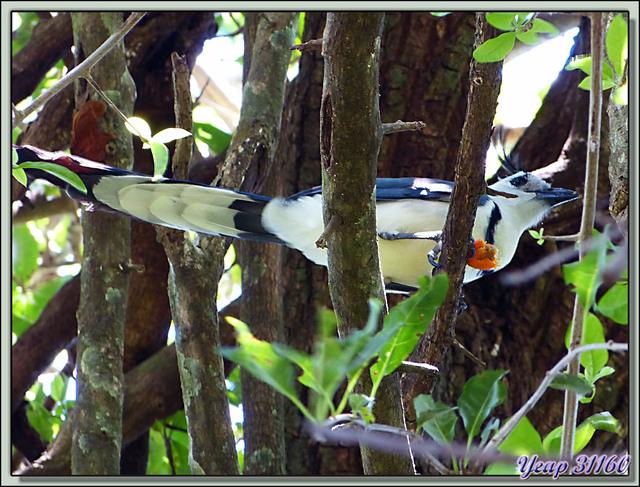 Blog de images-du-pays-des-ours : Images du Pays des Ours (et d'ailleurs ...), Geai à face blanche, White-throated Magpie-Jay (Calocitta formosa) - Rincon de la Vieja - Costa Rica