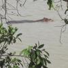 351 Bénin Pendjari Hippo