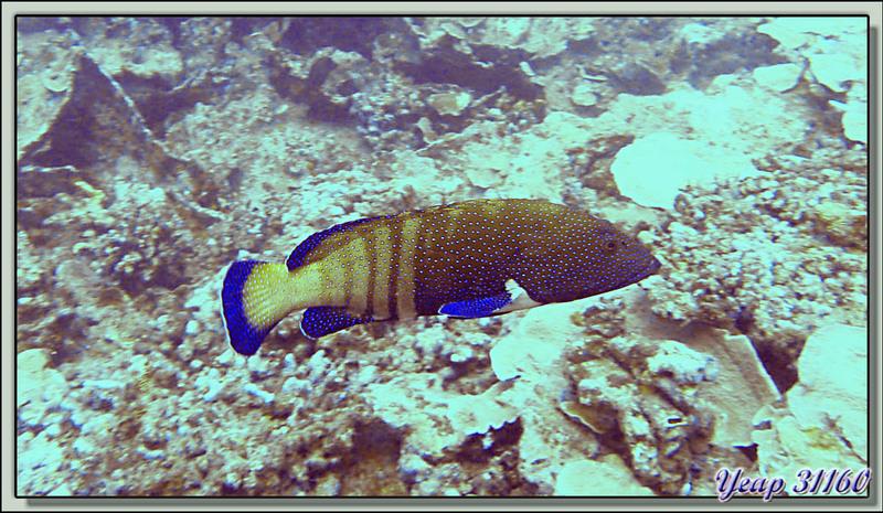 Plongée bouteille : mérou céleste - Moorea - Polynésie française