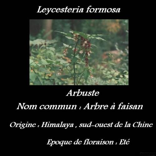 Leycesteria formosa