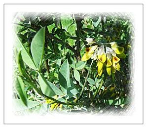 Luzerne arborescente jaune