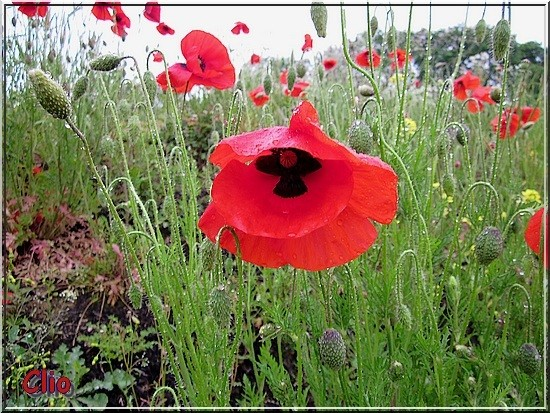 COQUELICOTS - 3 - RED