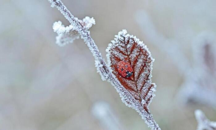 Une coccinelle sous le givre, Tewin, Angleterre