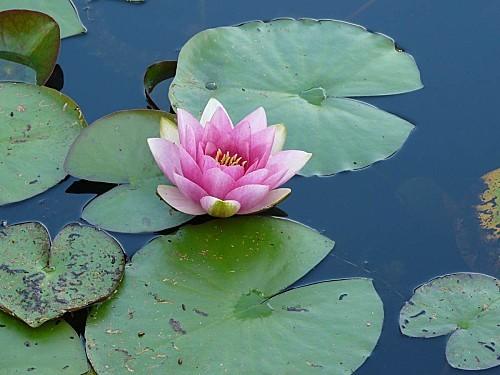 Jardin-du-Prahor-8-08-12-Nympheas-P1290954.JPG