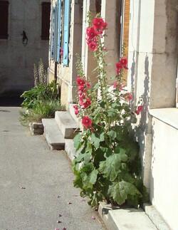 Roses trémières et Acanthes à Saillans/juin 2015 - merci de ne pas reproduire mes photos ;