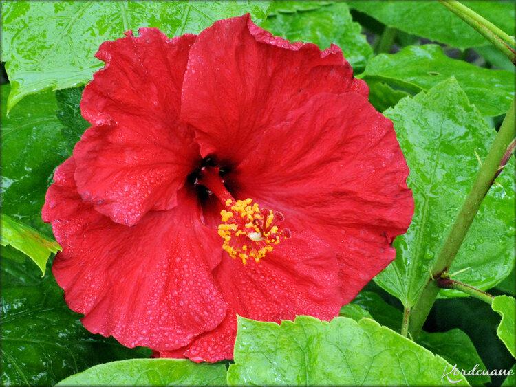 Photos de fleurs d'Hibiscus (arbuste-flore)