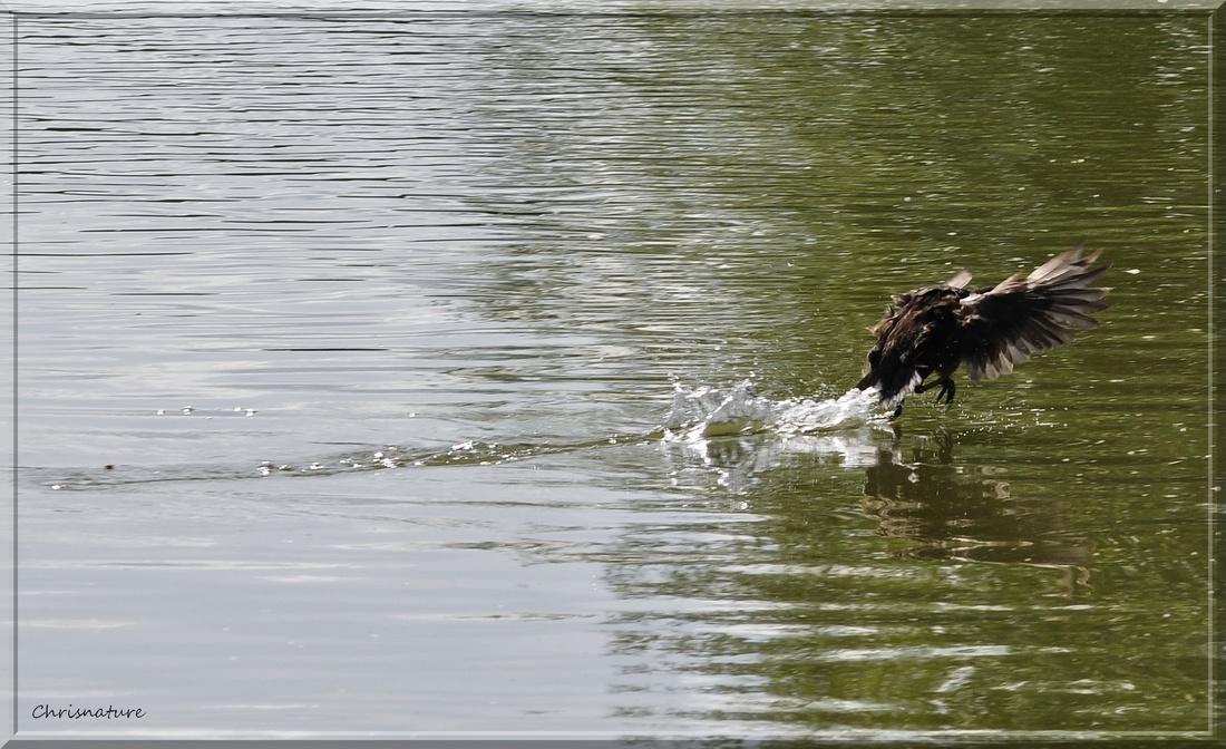 Galinulle-Poule d'eau