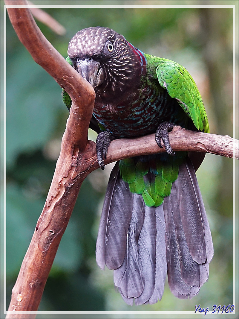 Perroquet Papegeai maillé, Red-fan parrot (Deroptyus accipitrinus) - Parque das Aves - Foz do Iguaçu - Brésil