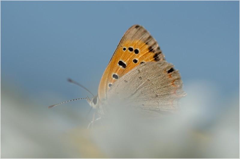 papillons