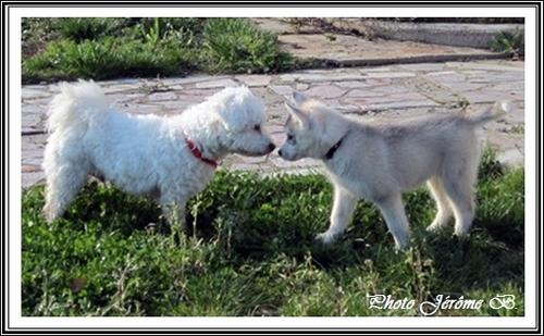 Husky et Coton de Tuléar