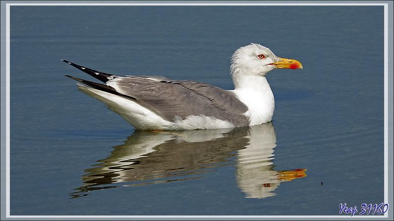Goéland brun, Lesser Black-backed Gull (Larus fuscus) - Ars-en-Ré - Ile de Ré - 17