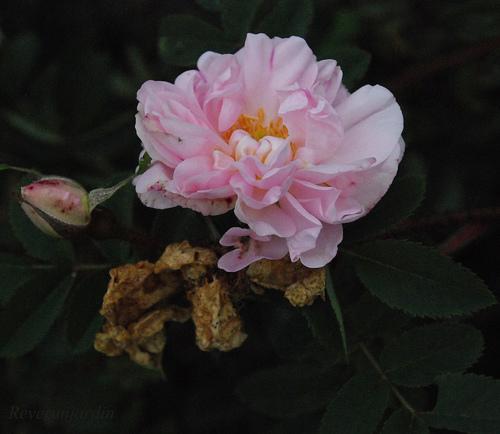 5 et roses