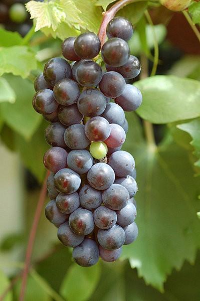 VINE vitis vinifera-Vigne