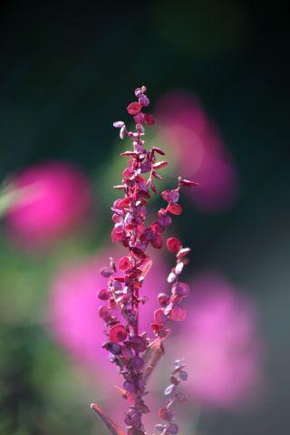 Des compagnes pour mes roses : Atriplex hortensis