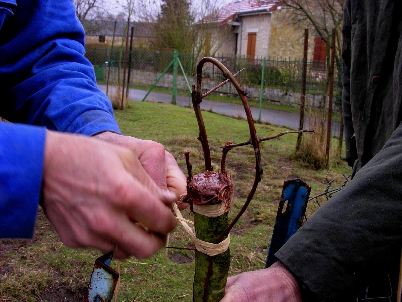 préparation du prunier porte-greffe