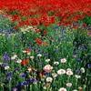 fleurs_105.jpg
