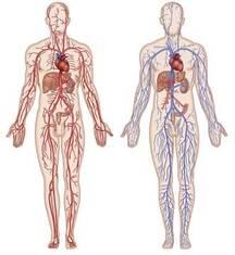schéma de la cirulation sanguine