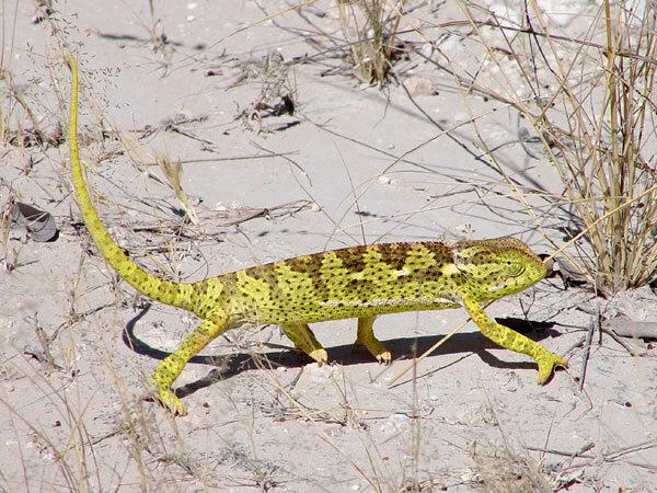 Caméléon dans le desert du Namib