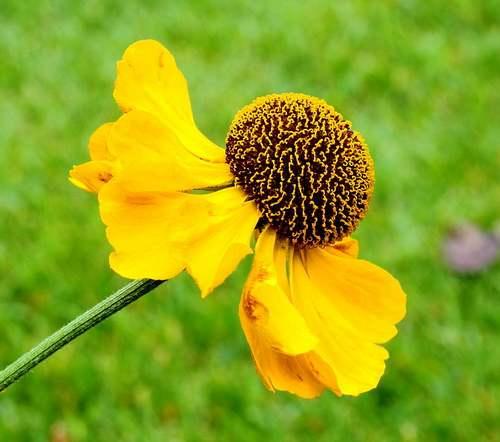 Fleurs cultivées : Hélénie