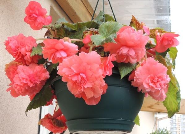 Begonias-retombants.jpg