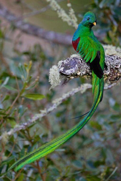 resplendent-quetzal-9
