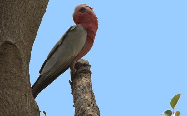 animaux oiseaux rosella1
