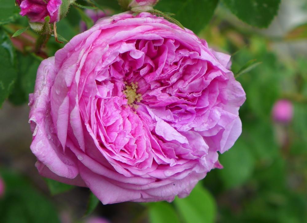 La saison des roses fripées est revenue...