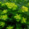 Euphorbe d\'Irlande (Euphorbia hyberna)