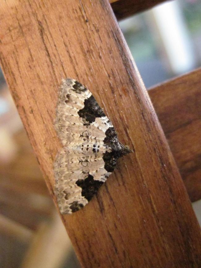 Papillon de nuit blanc à taches noires : Xanthorhoe fluctuata