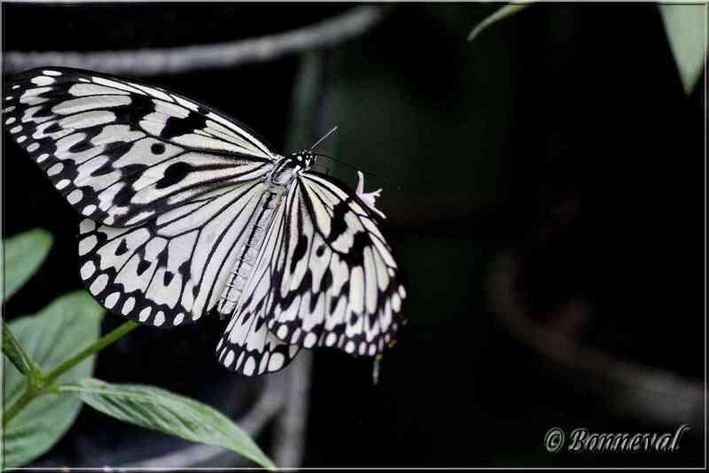 Papillons tropicaux Idea leuconoe