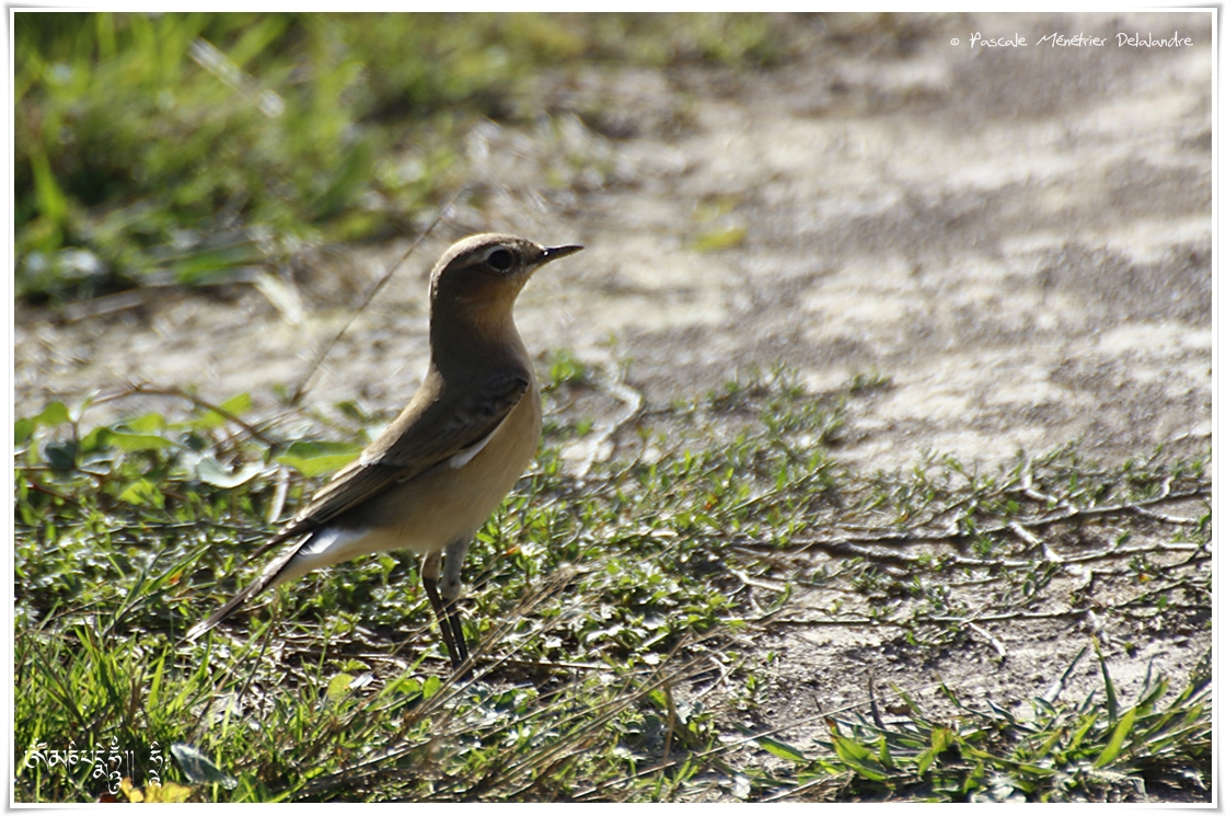 Traquet motteux - Oenanthe oenanthe - Northern Wheatear