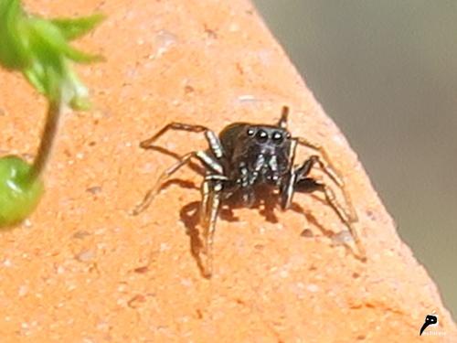 Héliophanus sp. mâle