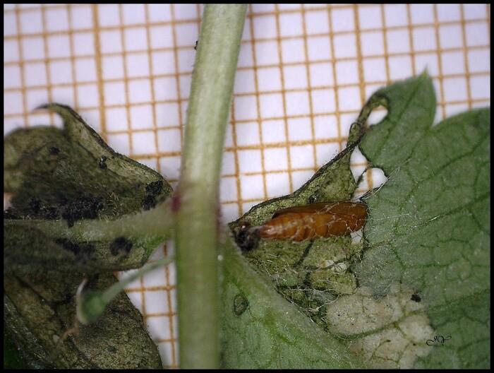 Epermenia chaerophyllella.