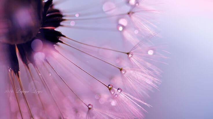 Pissenlit-rose-representant-l'amour