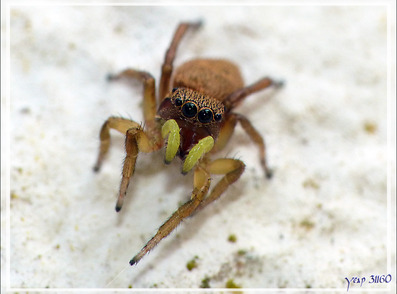 Araignée sauteuse (Heliophanus tribulosus) - La Couarde-sur-Mer - Île de Ré - 17