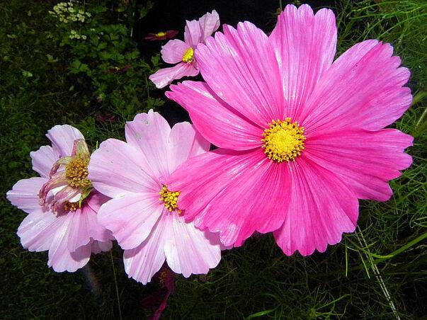Sublimes fleurs de Cosmos