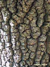 Frêne Fraxinus écorce