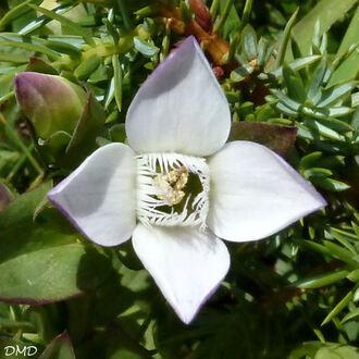 Gentianella campestris  - gentiane champêtre