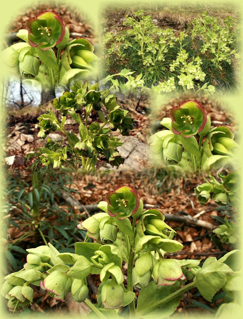 Euphorbe en fleur - Forêt communale de Milhas - Massif de Paloumère - 31