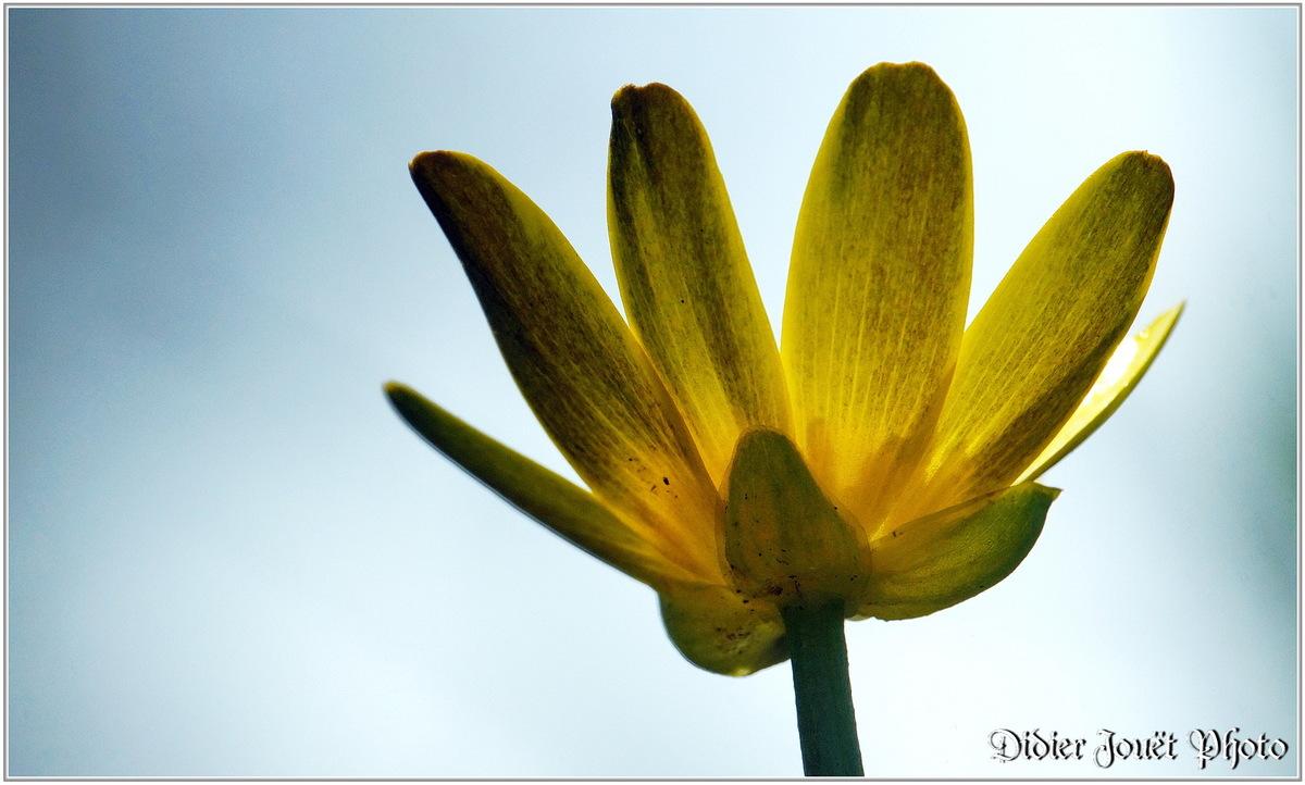 Renoncule Ficaire (3) - Ranunculus ficaria