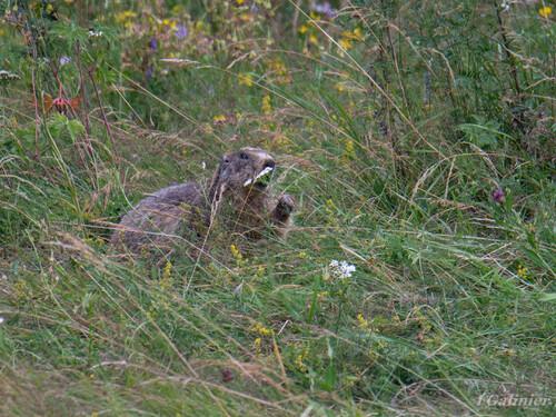 Marmottes Formiguères 2018