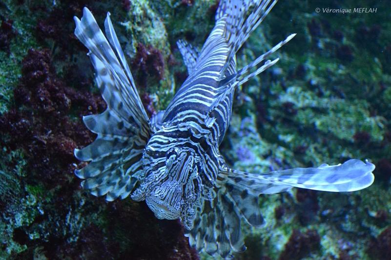 Palais de la Porte Dorée et l'Aquarium Tropical : Rascasse Volante