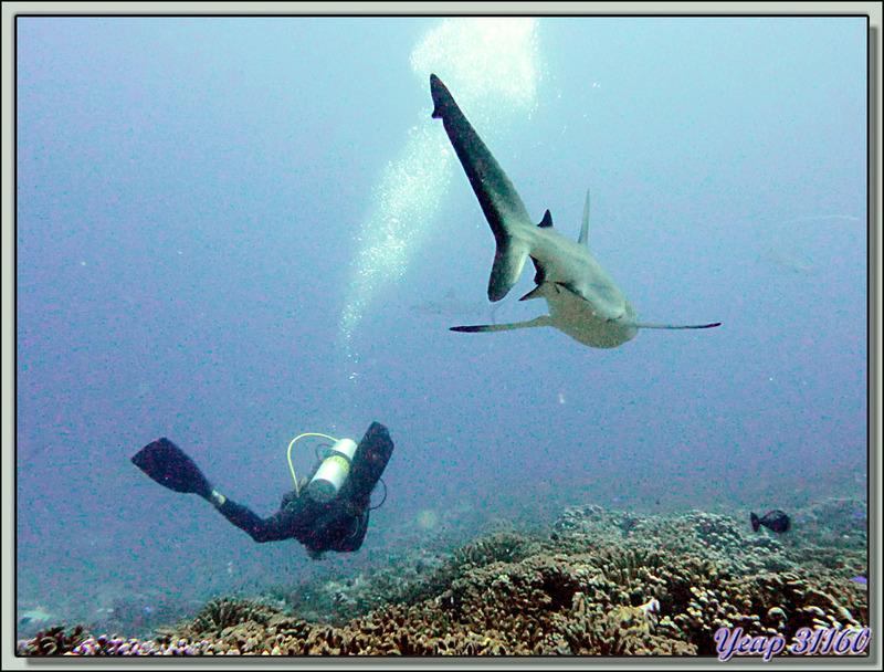 Plongée bouteille Passe Tumakohua : Requin gris - Fakarava - Polynésie française