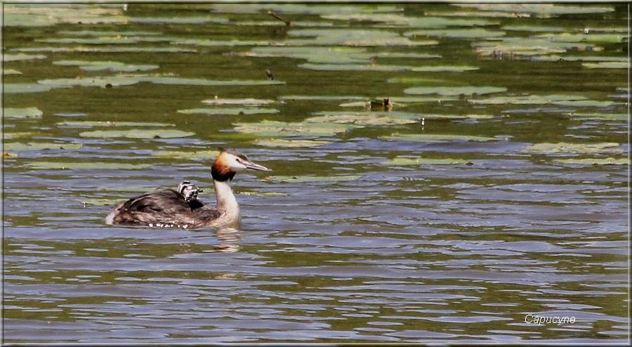 Avis de naissance : les petits grèbes huppés !